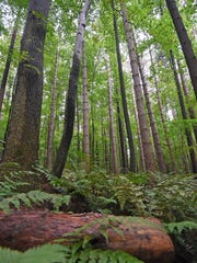 Pine trees and ferns grow in abundance at Mohican State Park.