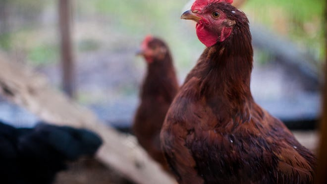 The Fond du Lac City Council voted Wednesday to wait until two days before Thanksgiving to decide whether to change an ordinance and allow chickens in the city.