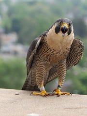 Hathor, the Peregrine Falcon mother.