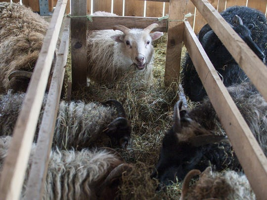 Icelandic Sheep feed at Stark Hollow Farm in Danville on Thursday, March 24, 2016.
