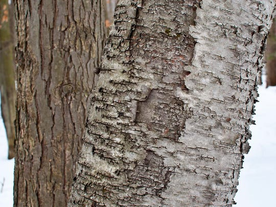 A white birch, with horizontal-striped bark (right),