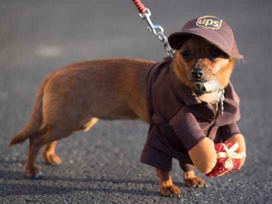 Xiaoli is a chiweenie, Chihuahua and dachshund mix, and is dressed to take part in the Powell Lions Club's 34th annual Christmas Parade on Dec. 2, 2017. Xiaoli was brought to the parade by Jenia Millier.