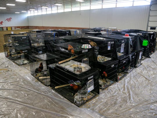 The 85 chickens sit at the Animal Rescue League of