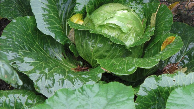 A cabbage, which ripens well in cool weather, is one of the second season crops (broccoli, lettuce, kale, spinach, turnips) capable of shrugging off several fall frosts.