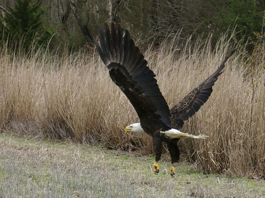 A mature, female bald eagle that was found disoriented in a field on March 19, was rehabilitated at Tri-State Bird Rescue & Research and released Monday in Sussex County. The bird is flying from the cage in this photo taken during the release.
