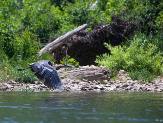 A great blue heron flies over the Eleven Point River on Thursday, June 7. Microplastics that result from items discarded in urban areas end up in bodies of freshwater like these, said a spokeswoman with James River Basin Partnership.