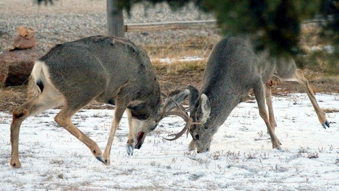 The force of the collision between the two buck lifts both males off the ground.