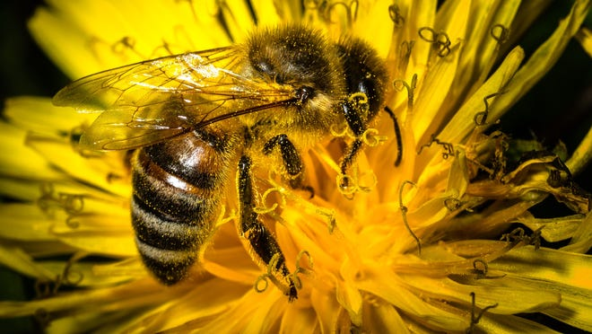 Nicolas Armer, AFP/Getty Images A bee collects pollen from a dandelion flower on April 19, 2015 near Wiesenthau, southern Germany. AFP PHOTO / DPA / NICOLAS ARMER +++ GERMANY OUTNicolas Armer/AFP/Getty Images ORIG FILE ID: 539916159
