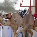 A camel  is whipped by a robotic jockey during Al Marmoom Heritage Festival at the Al Marmoom Camel Racetrack on April 16, 2014 in Dubai, United Arab Emirates.