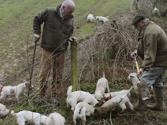 Terriers rip rats to shreds in the English countryside.