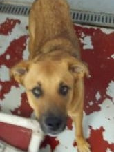Rusty is an adult male Shepherd mix. He is very affectionate, and walks well on a leash. To adopt Rusty, or any of the animals at the High Desert Humane Society, visit or call 575-538-9261 for more information.