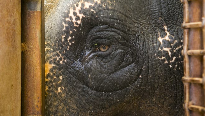 """Sheena,"" a 43-year old Asian elephant, looks on at the Phoenix Zoo on Sept. 16, 2015.  The Phoenix Zoo will be celebrating Elephant Appreciation Day on Sept. 27, 2015, with special events related to elephants."