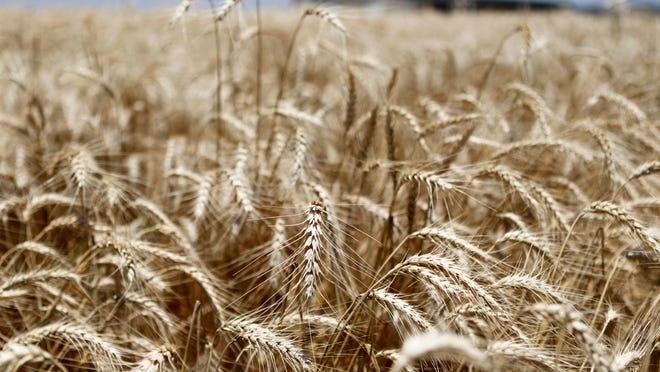 Wheat crops near San Angelo.