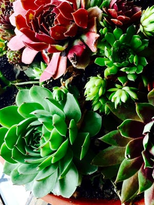 Live and growing, artificial, adorned with fairy houses and mythical characters, there is a succulent for anyone's taste.