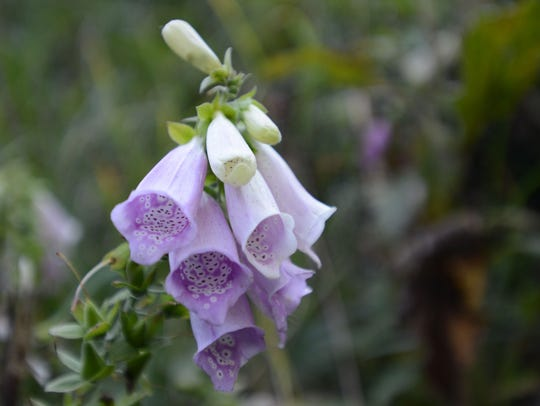 A foxglove grows along a staircase leading to Battery