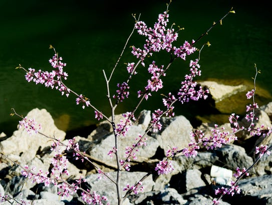 A redbud blooms along the Tennessee River path in Knoxville,