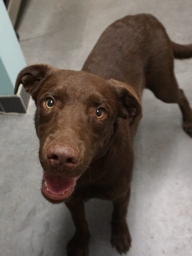 Chaco is a young, energetic lab mix who is looking