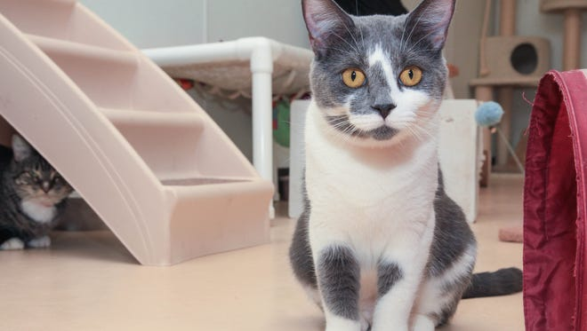 FILE- Adoptable cat Roo poses for a photo at the Central Brevard Humane Society's Merritt Island Adoption Center.