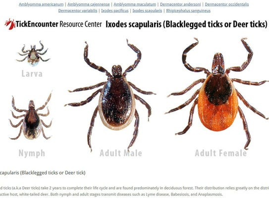 Blacklegged ticks male, female, nymph and larva, presented by the University of Rhode Island's TickEncounter Resource Center.