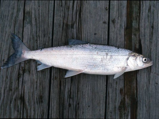 636170110442468402-MJS-whitefish.jpg