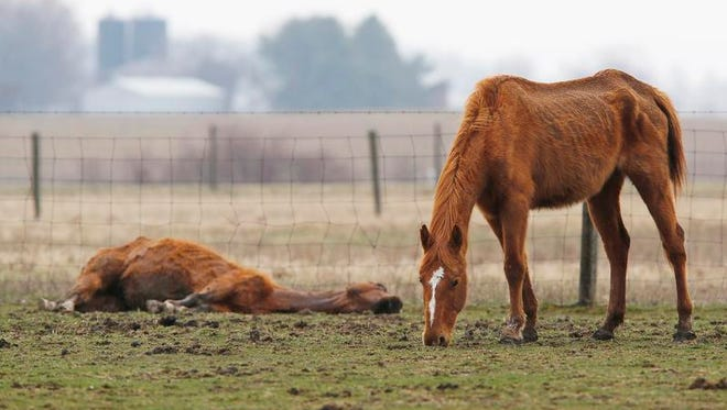 An emaciated horse, bones visible through its skin, forages Monday in a pasture at 8218 S. Tippecanoe County Road 550 East near Stockwell. The horse on the ground apparently succumbed to starvation.