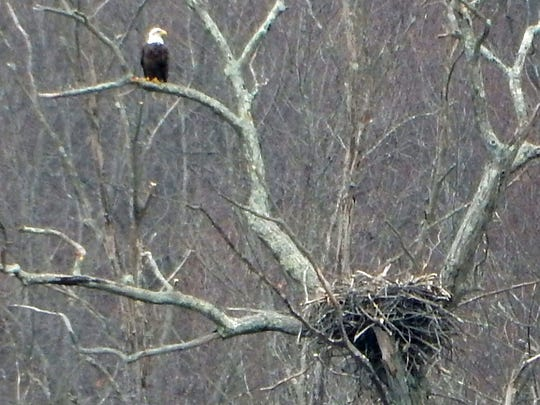 A bald eagle perched on a branch overlooking a nest on the west side of Mohansic Lake in FDR State Park in Yorktown.