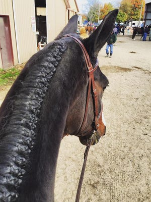 Local horse shows are being cancelled or postponed following reports of Strangles.