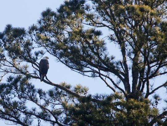A bald eagle sits perched in a tree at Dogwood Canyon
