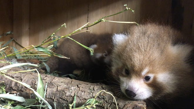 Two red pandas were born July 2, 2016 at Potter Park Zoo.