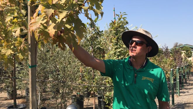 Larry Espinoza, points out the changing color of the leaves on his trees at Luis' Nursery in Visalia. Shade trees like this are popular to plant in fall.