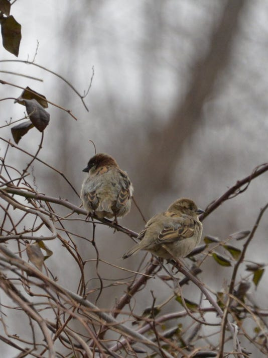 636325240082985369-sparrow.JPG