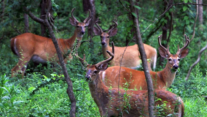 A group of bucks gather in the woods off Route 121 in North Salem.