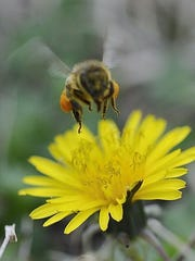 Learn about brilliant bees on Sunday at Sharon Woods.