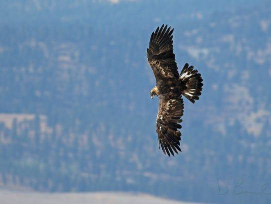 A golden eagle flies through the Big Belt Mountains south of Duck Creek Pass.