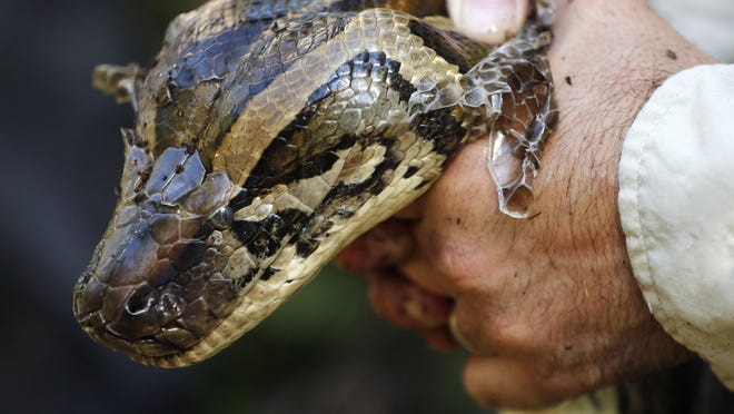 FILE- In this Wednesday, Oct. 23, 2019 file photo, a 14-foot, 95-pound, female Burmese python is held tightly by wildlife biologist Ian Bartoszek after he captured it in Naples, Fla. The Super Bowl committee and Florida environmental officials launched a contest on Friday, Jan. 10, 2020, for hunters to kill Burmese pythons, which are decimating the Everglades.