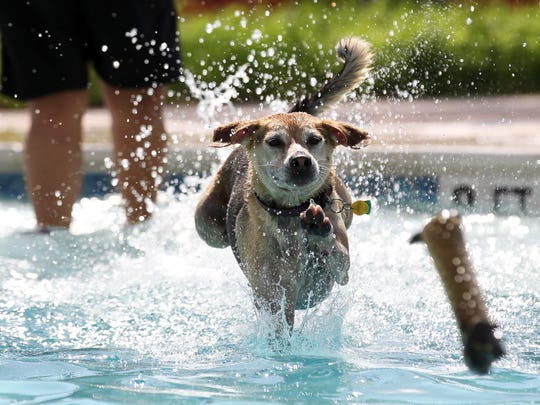Lola leaps into the water after her chew toy thrown by owner Claudia Morales Saturday, Sept. 14, 2013 during the 10th annual Doggy Dip at the H-E-B Pool in Corpus Christi.