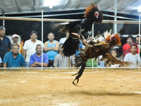 Spectators watch as two roosters battle it out in the cockfight pit of the Guam Liberation Carnival at Tiyan on June 3, 2013.