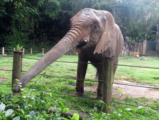 Mundi, the only elephant at the Dr. Juan A. Rivero