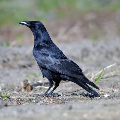 Jon Gast: Door County League lore includes the crow that got in everyone's craw