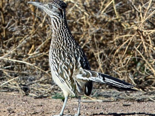 A roadrunner is one of New Mexico's most endearing but fierce birds.