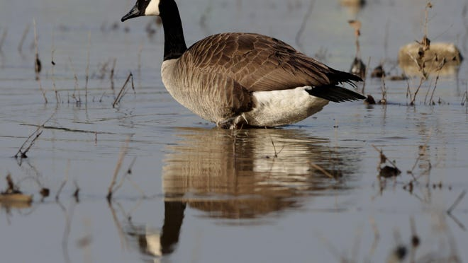 The season to hunt Canada goose starts Saturday.