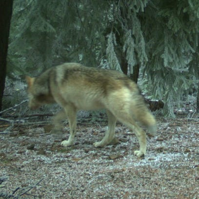 Wolves confirmed in Mount Hood area for first time