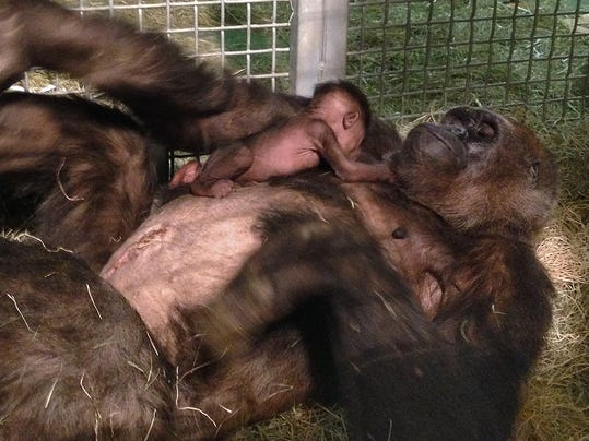 AP Gorilla C-Section