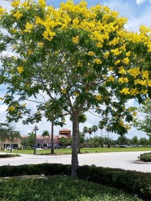 A rule of thumb is that it takes three months per inch of trunk diameter for a tree to become established.