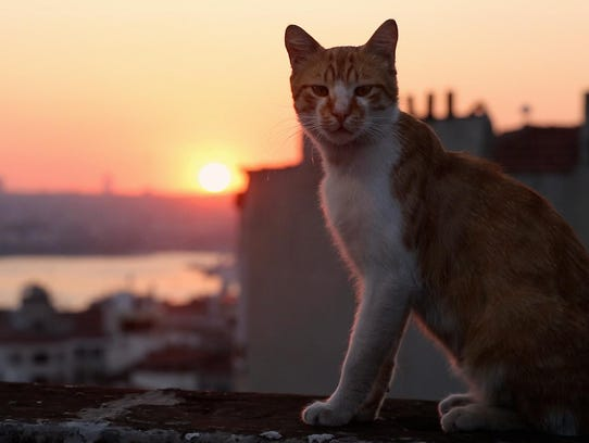 """One of the cats of """"Kedi,"""" now playing at the ShowRoom"""