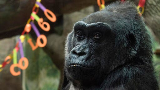 FILE – In this Dec. 22, 2016, file photo, Colo, the world's first gorilla born in a zoo, sits inside her enclosure during her 60th birthday party at the Columbus Zoo and Aquarium in Columbus, Ohio. The Columbus Zoo and Aquarium said Tuesday, Jan. 17, 2017, that Colo, the oldest known gorilla in the U.S., died in her sleep less than a month after her 60th birthday.