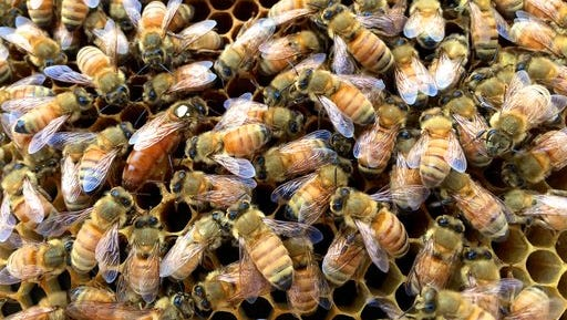 This May 25, 2016 photo taken near Langley, Wash., shows a marked queen bee in a new colony that was being developed by members of a beekeeping club. Community beekeeping is modeled after community gardening. Hobbyists share sites, equipment and even production. Community apiaries are designed to boost pollination, train beekeepers and promote interest in beekeeping.