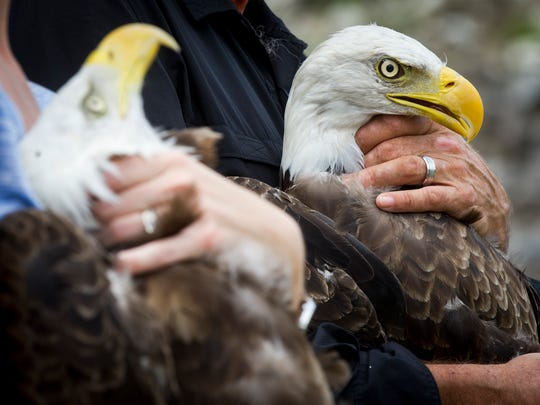 Bald eagles are prepared to be released into the wild by the American Eagle Foundation on Monday, August 7, 2017.