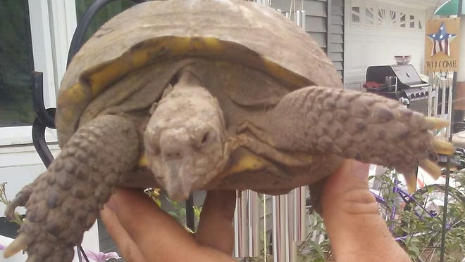 Buddy the Russian tortoise was returned to her Wisconsin Rapids home Monday, Aug. 6, 2018. She had been missing for a month and a half.