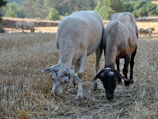 WSF-930-sheep-graze.jpg